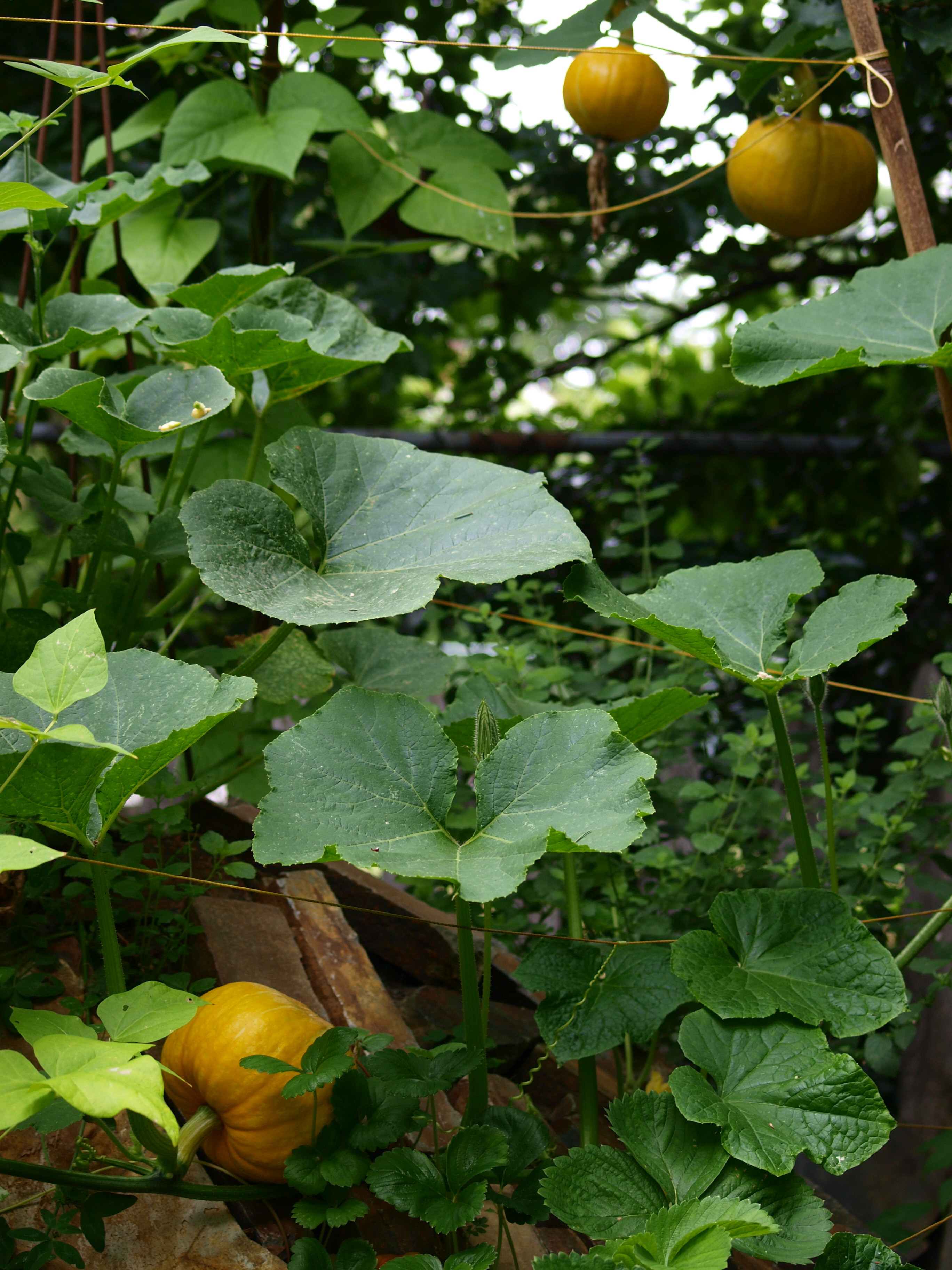 kabocha squash and scarlet runner beans